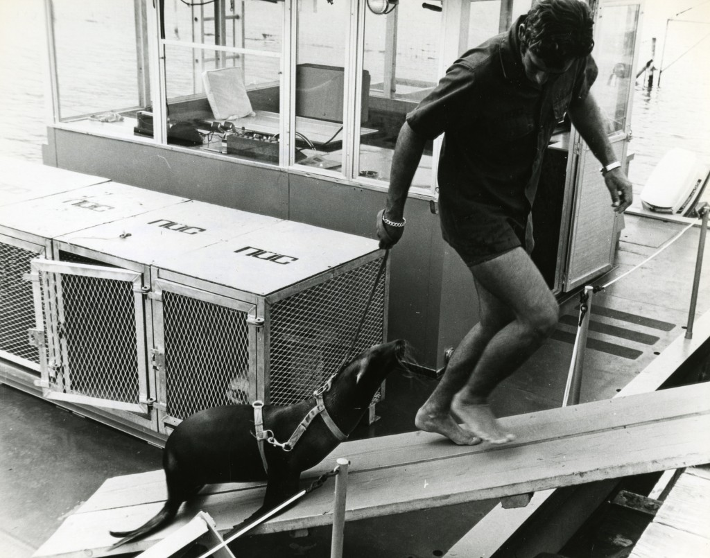 PACIFIC OCEAN  (November 1970) Handler Jim Corey leads a harnessed sea lion up a ramp during the animal's training. Animal behaviorists from the Naval Undersea Research and Development Center, Pasadena, are training the sea lions to encircle and lock a grabber device into a target in the sea. (US Navy Photograph)